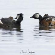 Grèbes de Rolland et leurs poussins, Patagonie