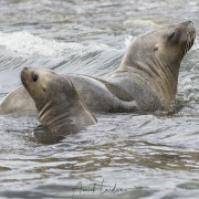 Otaries à fourrure, Isla Marta
