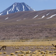 Vigognes - Désert d'Atacama