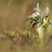 Orchidée Porcelaine