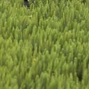 Foulque à jarretières sur son nid, Patagonie