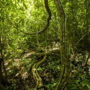 Liane dans la forêt tropicale