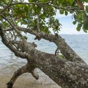 Amandier: érosion en bord de mer