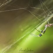 Araignée Nephila clavipes