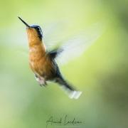 Colibri à gorge pourprée: femelle