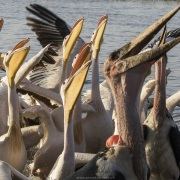 Pélican blanc et marabout d'Afrique