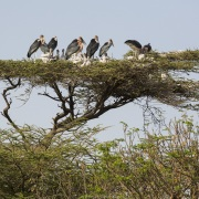 Marabouts d'Afrique et poussins