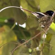 Oiseau du paradis mâle sur le nid