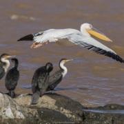 Pélican blanc et cormorans à poitrine blanche