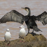 Cormoran à poitrine blanche et mouette à tête grise