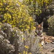Loup d'Abyssinie dans le séneçon du Cap