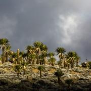 Lobélias géantes sur le plateau de Sanetti, parc national du Mont Balé