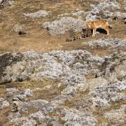 Louve d'Abyssinie et sa portée