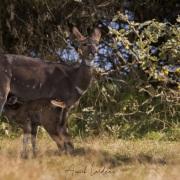 Femelle Nyala de montagne et son petit