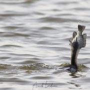 Cormoran africain et sa proie
