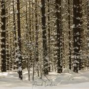 Forêt de bouleaux sous la neige
