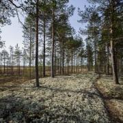 Pinède et lichen