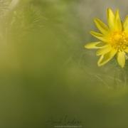 Adonis de printemps