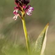 Orchis brulé