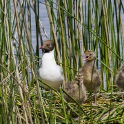 Mouette rieuse, Brenne