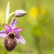 Ophrys de l'Aveyron