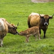 Vaches de la race Aubrac et leurs veaux