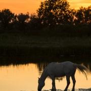Cheval camarguais, Camargue