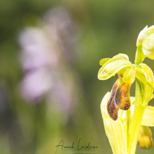 Ophrys sillonné