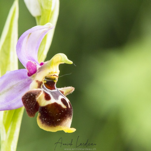 Ophrys fausse bécasse