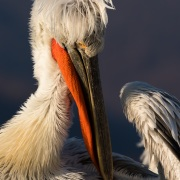 Pelican frisé sur le lac Kerkini