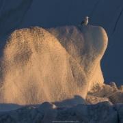 Goéland bourgmestre sur un iceberg, Baie de Disco