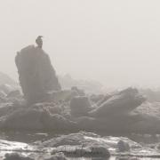Grand corbeau, Baie de Disco