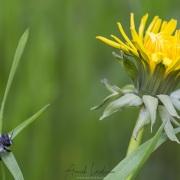 Fleur pissenlit + andrène vague