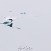 Sterne arctique