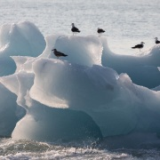 Goéland bourgmestre sur un iceberg