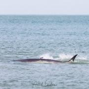 Baleine de Mink