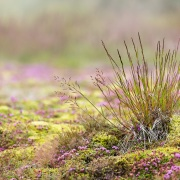 Végétation sur la zone géothermale de Geysir