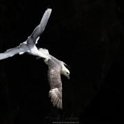 Mouette tridactyle poursuivant un Fulmar boréal
