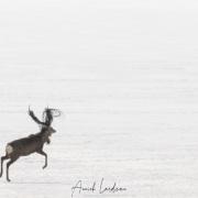 Cerf Sika empêtré dans un filet de pêche