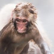 Macaque du Japon: sortie du bain