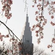 Shinjuku Gyoen Park: Cerisier en fleur: Cerisier en fleur