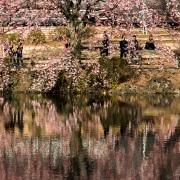 Shinjuku Gyoen Park: Cerisier en fleur