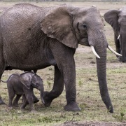 Eléphant, Maasaï Mara