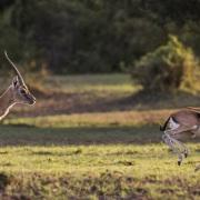Gazelle de grant, Maasaï Mara