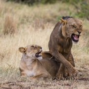 Lions accouplement, Samburu