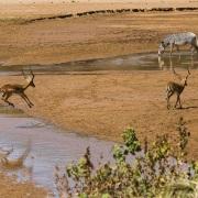 zèbre de Grévy et impala, Samburu