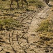 Lion, Samburu