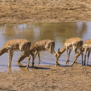 Impala, Samburu