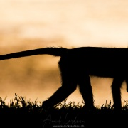 Vervet, Samburu