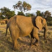 Eléphant, Samburu